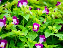 Pansy, πορφυρά λουλούδια Στοκ φωτογραφία με δικαίωμα ελεύθερης χρήσης