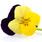 pansy πορφυρός κίτρινος Στοκ Φωτογραφίες