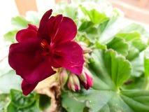 Pansy в цветени Стоковые Фото