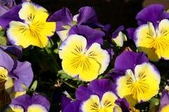 Pansy изумительный цветок и своя комбинация цвета большая Виола tricolor var hortensis Pansy Виола Wittrockianna стоковые фотографии rf
