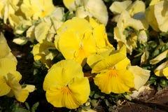 Pansy изумительный цветок и своя комбинация цвета большая Виола tricolor var hortensis Pansy Виола Wittrockianna стоковое фото