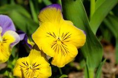 Pansy изумительный цветок и своя комбинация цвета большая Виола tricolor var hortensis Pansy Виола Wittrockianna стоковая фотография rf