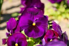 Pansy изумительный цветок и своя комбинация цвета большая Виола tricolor var hortensis Pansy Виола Wittrockianna стоковое изображение
