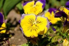 Pansy изумительный цветок и своя комбинация цвета большая Виола tricolor var hortensis Pansy Виола Wittrockianna стоковые изображения