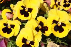 Pansy изумительный цветок и своя комбинация цвета большая Виола tricolor var hortensis Pansy Виола Wittrockianna стоковое изображение rf