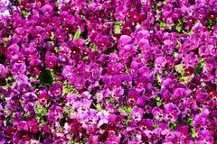 Pansy изумительный цветок и своя комбинация цвета большая Виола tricolor var hortensis Pansy Виола Wittrockianna стоковые изображения rf