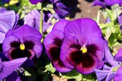 Pansy изумительный цветок и своя комбинация цвета большая Виола tricolor var hortensis Pansy Виола Wittrockianna стоковые фото