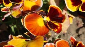 Pansy изумительный цветок и своя комбинация цвета большая Виола tricolor var hortensis Виола Wittrockianna - Pansy стоковые изображения