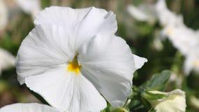 Pansy изумительный цветок и своя комбинация цвета большая Виола tricolor var hortensis Виола Wittrockianna - Pansy стоковые изображения rf