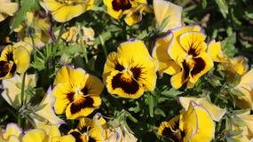 Pansy изумительный цветок и своя комбинация цвета большая Виола tricolor var hortensis Виола Wittrockianna - Pansy стоковая фотография rf