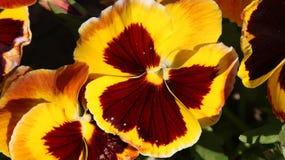 Pansy изумительный цветок и своя комбинация цвета большая Виола tricolor var hortensis Виола Wittrockianna - Pansy стоковое изображение