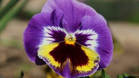 Pansy изумительный цветок и своя комбинация цвета большая Виола tricolor var hortensis Виола Wittrockianna - Pansy стоковое изображение rf