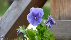 Pansy изумительный цветок и своя комбинация цвета большая Виола tricolor var hortensis Виола Wittrockianna - Pansy стоковые фото