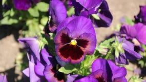Pansy изумительный цветок и своя комбинация цвета большая Виола tricolor var hortensis Виола Wittrockianna - Pansy стоковая фотография