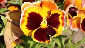 Pansy изумительный цветок и своя комбинация цвета большая Виола tricolor var hortensis Виола Wittrockianna - Pansy стоковые фотографии rf