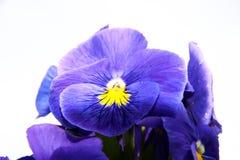 Pansy изумительный цветок и своя комбинация цвета большая Виола tricolor var hortensis Виола Wittrockianna изолировало дальше стоковые изображения rf