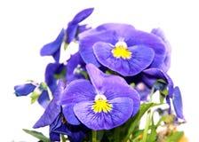 Pansy изумительный цветок и своя комбинация цвета большая Виола tricolor var hortensis Виола Wittrockianna изолировало дальше стоковое фото