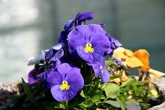 Pansy изумительный цветок и своя комбинация цвета большая Виола tricolor var hortensis Виола Wittrockianna Красивый стоковое изображение