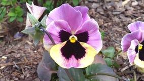 Pansy цветет Виола tricolor Стоковая Фотография RF