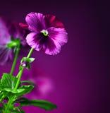 Pansy цветет граница Стоковая Фотография RF