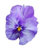 pansy цветка Стоковые Изображения RF