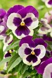 Pansy-цветки в фиолетовом и белом Стоковая Фотография