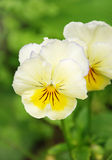 Pansy Immagine Stock