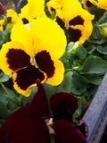 pansy stock foto