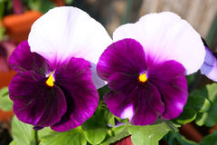 Pansy Stock Image