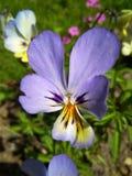 Красивой покрашенный весной цветок pansy в саде стоковые изображения rf