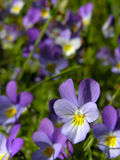 Pansy. Blue pansies Royalty Free Stock Photo