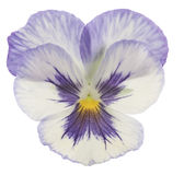 Pansy Stock Photography