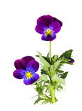 Pansy. Purple pansy flower plant isolated on white Royalty Free Stock Photography