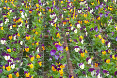 Pansy. Lots of pansies in the garden Stock Images