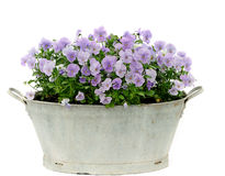 Pansy Stock Photos