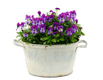 Pansy. In an old basin on white background Royalty Free Stock Photography