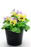 Pansy Stock Images