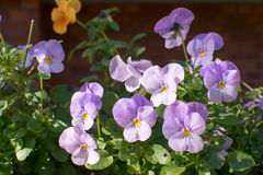 pansy Stock Foto's