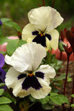 Pansy. On the spring garden Royalty Free Stock Photography