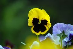 Pansy. Yellow and black pansy - Viola tricolor hortensis Stock Photography