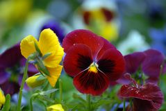 Pansy Foto de Stock Royalty Free