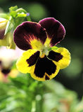 Pansy. Close up of pansy flower in the garden stock photography