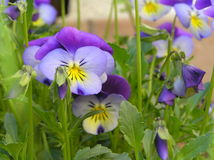 Pansy Royalty Free Stock Photos