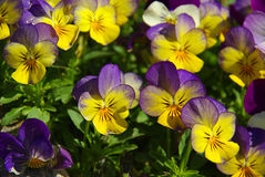 Pansy Imagens de Stock Royalty Free