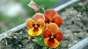 Pansy is a amazing flower and its colour combination is great. Viola tricolor var. hortensis. Viola Wittrockianna - Pansy. Pansy is a amazing flower and its stock images