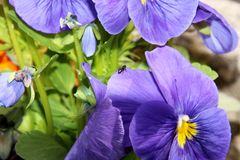 Pansy is a amazing flower and its colour combination is great. Viola tricolor var. hortensis. Viola Wittrockianna. Beautiful. Multi-colored flowers pansies with stock photo