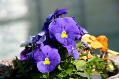 Pansy is a amazing flower and its colour combination is great. Viola tricolor var. hortensis. Viola Wittrockianna. Beautiful. Multi-colored flowers pansies stock image
