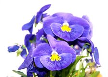 Pansy is a amazing flower and its colour combination is great. Viola tricolor var. hortensis. Viola Wittrockianna isolated on. Pansy is a amazing flower and its stock photo