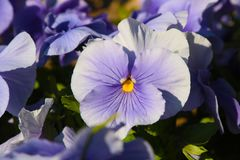 Pansy is a amazing flower and its colour combination is great. Viola tricolor var. hortensis. Viola Wittrockianna Pansy. Pansy is a amazing flower and its multi stock photo