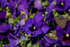 Pansy is a amazing flower and its colour combination is great. Viola tricolor var. hortensis. Viola Wittrockianna Pansy. Pansy is a amazing flower and its multi stock photography